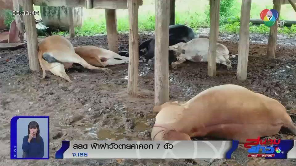 เจ้าของสลด ฟ้าผ่า วัวตายคาคอก 7 ตัว หลังฝนตกหนัก