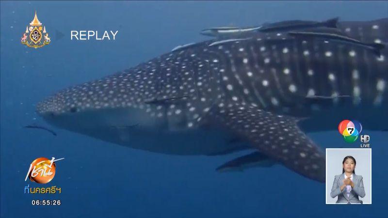 ฮือฮา พบฝูงวาฬเพชฌฆาตดำ 30 ตัว ว่ายอวดโฉมกลางทะเลเกาะเต่า