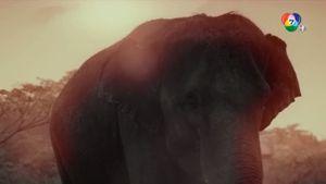 ภาพยนตร์เชิงสารคดีชุดช้างไทย : ตอน 8 กลับบ้าน คลิป 4/4